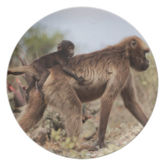 Female gelada baboon with a baby plate
