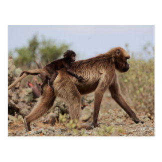 Female gelada baboon with a baby postcard