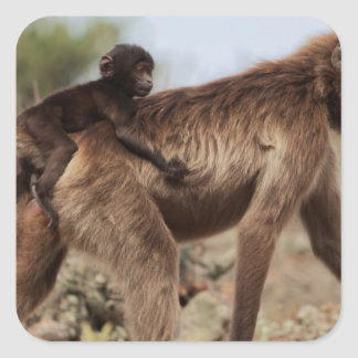 Female gelada baboon with a baby square sticker