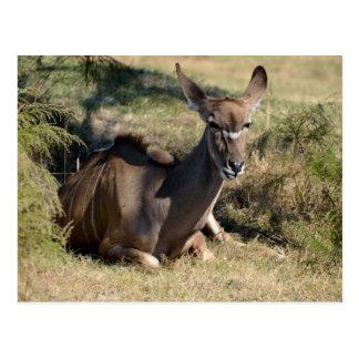 Female Greater Kudu Postcard