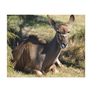 Female Kudu Stretched Canvas Prints