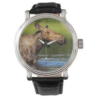 Female Moose Feeding In Small Lake Wrist Watches