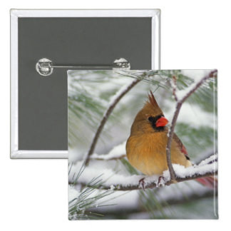 Female Northern Cardinal in snowy pine tree, 15 Cm Square Badge