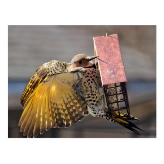 Female Northern Flicker Post Card