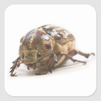 Female of Polyphylla fullo beetle Square Sticker