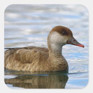 Female pochard duck, netta rufina square sticker