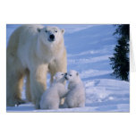 Female Polar Bear Standing with 2 Cubs at her