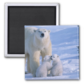 Female Polar Bear Standing with 2 Cubs at her Square Magnet