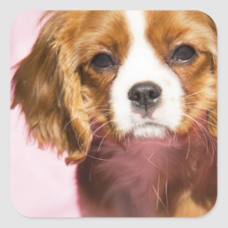 Female Puppy King Charles Spaniel Square Sticker