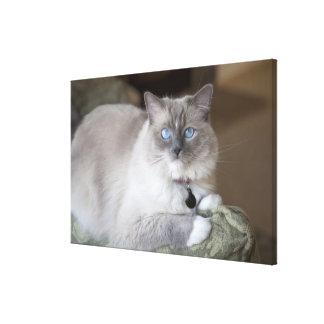 Female Ragdoll Cat Stretched Canvas Print