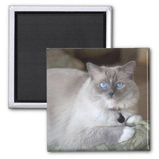 Female Ragdoll Cat Square Magnet