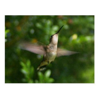 Female Ruby Throat Hummingbird Postcard