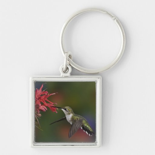 Female Ruby-throated Hummingbird feeding on Keychains