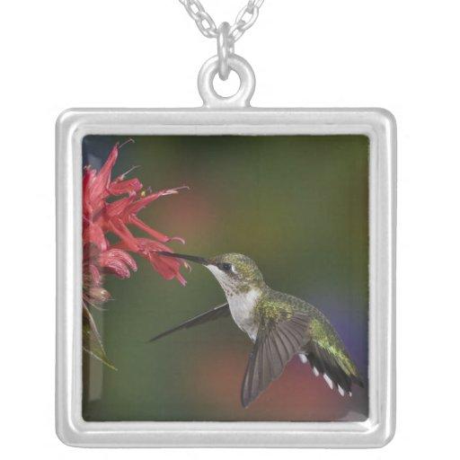 Female Ruby-throated Hummingbird feeding on Necklace