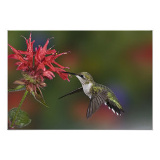 Female Ruby-throated Hummingbird feeding on Photograph