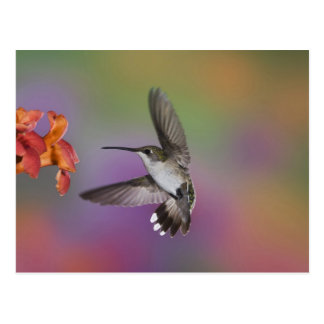 Female Ruby Throated Hummingbird in flight, 2 Postcard