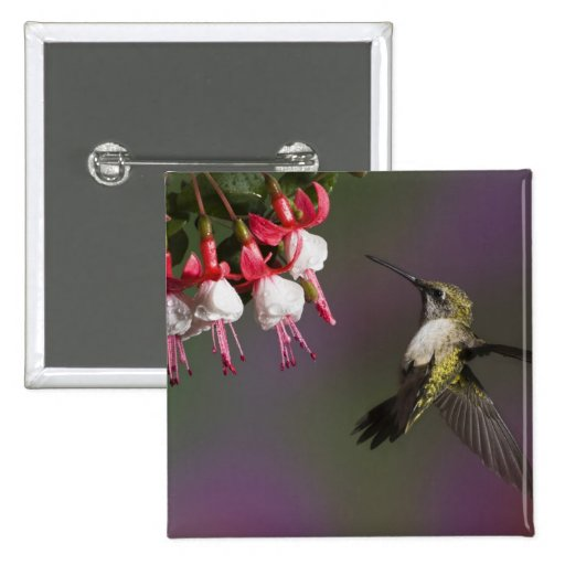 Female Ruby throated Hummingbird in flight. Pinback Buttons