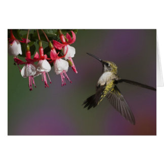 Female Ruby throated Hummingbird in flight. Greeting Card