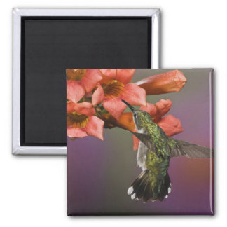 Female Ruby Throated Hummingbird in flight, Square Magnet