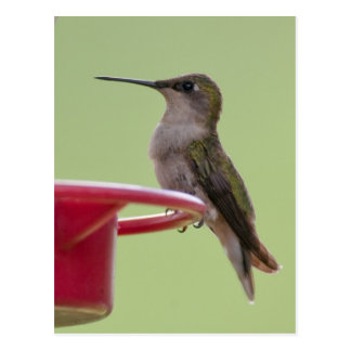 Female Ruby-Throated Hummingbird Postcard