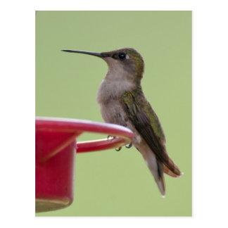 Female Ruby-Throated Hummingbird Postcard