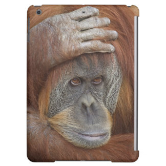 Female Sumatran Orangutan, Pongo pygmaeus
