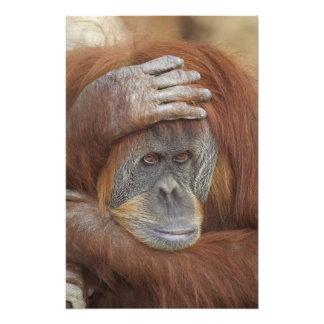 Female Sumatran Orangutan, Pongo pygmaeus Photo Art