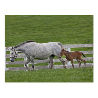 Female thoroughbred and young foal postcard