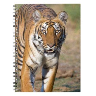 Female Tigress Stalking Prey Notebook