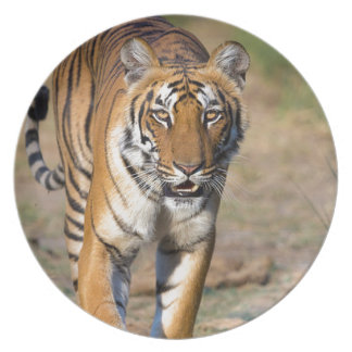 Female Tigress Stalking Prey Plate