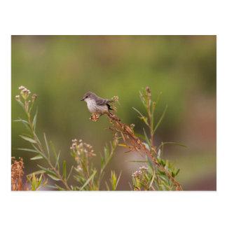 Female Vermilion Flycatcher Postcard
