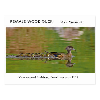 """Female Wood Duck"" (with children) Postcard"