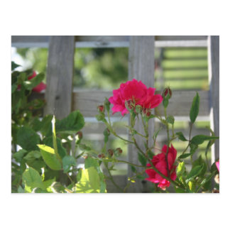 Fence of Roses Postcard