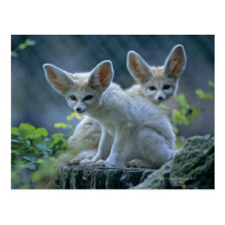 Fennec Foxes Postcard