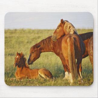 Feral Horse Equus caballus) adult smelling Mousepad