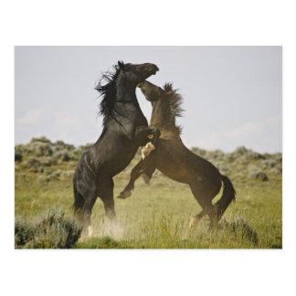 Feral Horse Equus caballus) wild horses Postcard