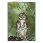 Ferruginous Pygmy-Owl, Glaucidium brasilianum, 2 Card