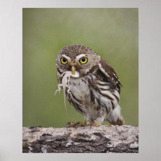 Ferruginous Pygmy-Owl, Glaucidium brasilianum, 5 Poster