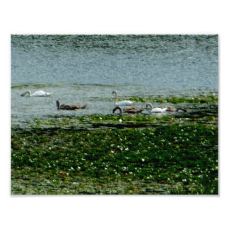 Few Swans Water Lily Pads Kodak Photo Paper Satin