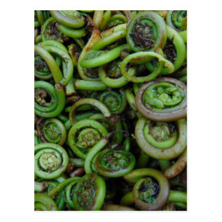 Fiddlehead Ferns Postcard