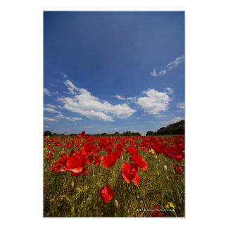 Field Full Of Red Flowers Poster