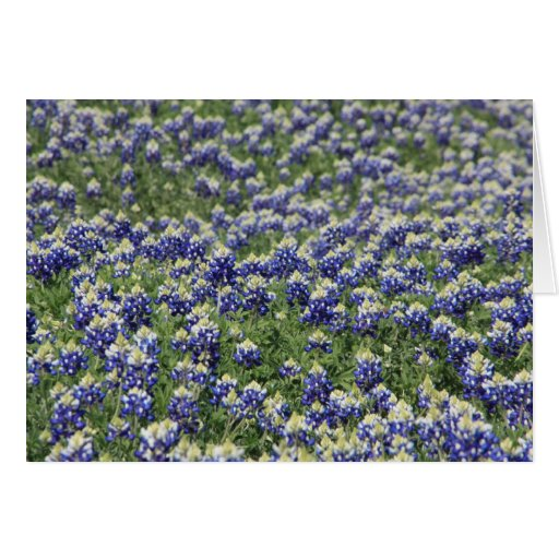 Field of Bluebonnets Cards