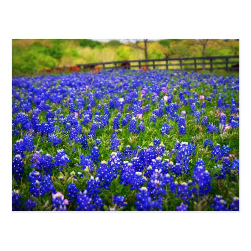 Field of Bluebonnets Postcard