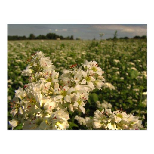 Field of Buckwheat Postcard
