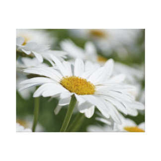 Field of Daisies Gallery Wrapped Canvas