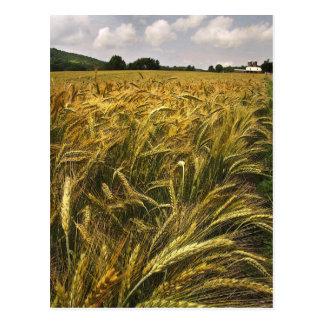 Field of Grain Postcard