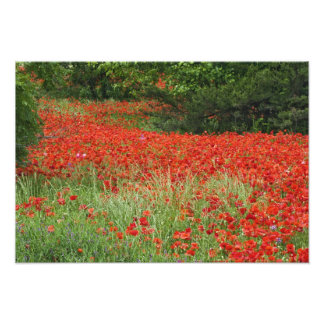 Field of hybrid poppy flowers planted along photo