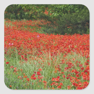 Field of hybrid poppy flowers planted along square sticker