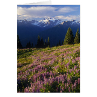Field of lupine, Mt. Olympus, and clouds at Card