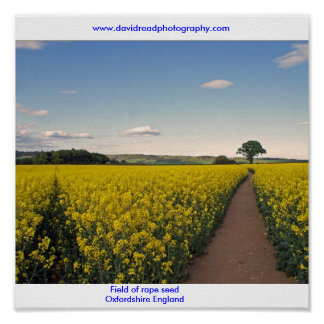 Field of rape seed Oxfordshire Poster